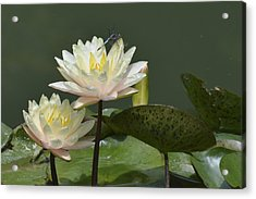 Two Yellow Water Lilies Acrylic Print by Linda Geiger