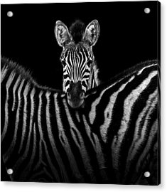 Two Zebras In Black And White Acrylic Print by Lukas Holas