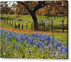 Tx Tradition, Bluebonnets Acrylic Print by Lisa Spencer