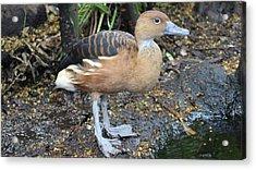 Ugly Duckling Acrylic Print