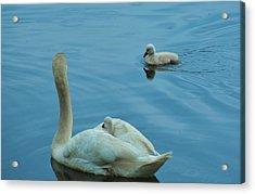 Ugly Ducklings Acrylic Print