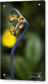 Uhule Tall Acrylic Print by Shawn Young