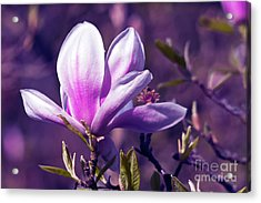 Acrylic Print featuring the photograph Ultra Violet Magnolia  by Silva Wischeropp