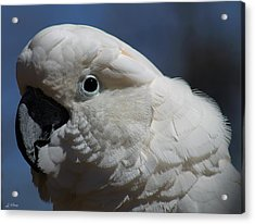 Umbrella Cockatoo Acrylic Print