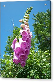 Under The Foxglove Acrylic Print by Ken Day