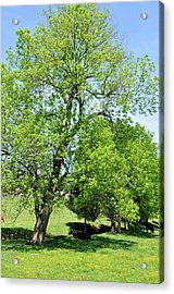 Under The Oak Acrylic Print by Jan Amiss Photography