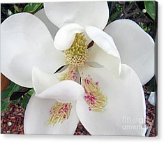Unfolding Beauty Of Magnolia Acrylic Print