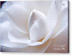 Unfolding Camellia Acrylic Print by Julia Hiebaum