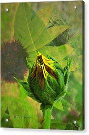 Unfolding Sunflower Acrylic Print