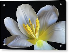 Acrylic Print featuring the photograph Unfolding Tulip. by Terence Davis
