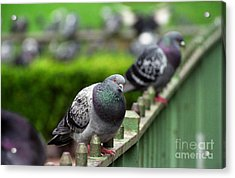 Union Square Pigeons Acrylic Print by James B Toy