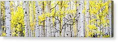 Unititled Aspens No. 6 Acrylic Print by The Forests Edge Photography - Diane Sandoval