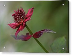 Acrylic Print featuring the photograph Bee Balm by Ben Shields