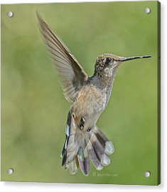 Untitled Hum_bird_four Acrylic Print