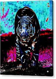 Acrylic Print featuring the photograph Unusual Tiger On The Prowl by Maggy Marsh