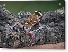 Acrylic Print featuring the photograph Up And Over - Gecko by Nikolyn McDonald