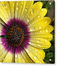 Daisy Up Close  Acrylic Print