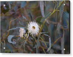 Up In The Eucalyptus Acrylic Print by Jean Booth