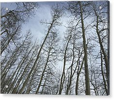 Up Through The Aspens Acrylic Print by Christin Brodie