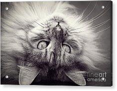 Upside Down Cat Acrylic Print by Elaine Hillson