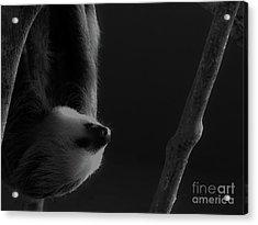 Upside Down Sloth Acrylic Print