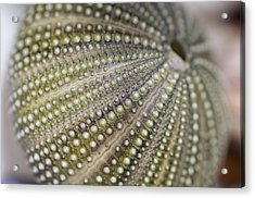Urchin Texture Acrylic Print by Laura George