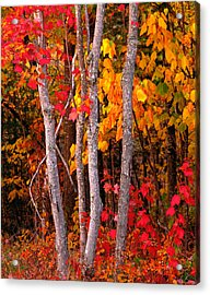 Usa, Maine, Autumn Maple Trees Acrylic Print by Panoramic Images
