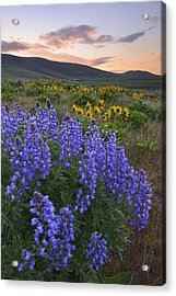 Usa, Washington, Dalles Mountain State Park, Landscape With Lupine Flower In Foreground Acrylic Print by Gary Weathers