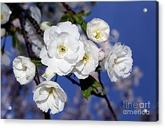 Acrylic Print featuring the photograph Vancouver 2017 Spring Time Cherry Blossoms - 1 by Terry Elniski