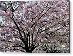 Acrylic Print featuring the photograph Vancouver 2017 Spring Time Cherry Blossoms - 10 by Terry Elniski