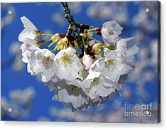 Acrylic Print featuring the photograph Vancouver 2017 Spring Time Cherry Blossoms - 11 by Terry Elniski