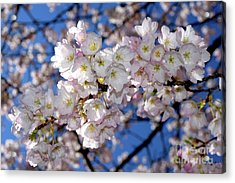 Acrylic Print featuring the photograph Vancouver 2017 Spring Time Cherry Blossoms - 12 by Terry Elniski