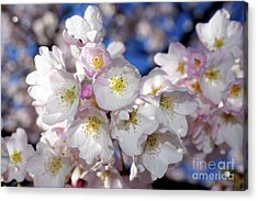 Acrylic Print featuring the photograph Vancouver 2017 Spring Time Cherry Blossoms - 13 by Terry Elniski