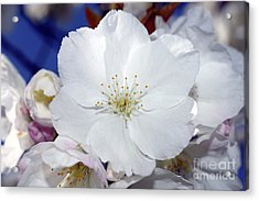 Acrylic Print featuring the photograph Vancouver 2017 Spring Time Cherry Blossoms - 2 by Terry Elniski