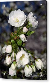 Acrylic Print featuring the photograph Vancouver 2017 Spring Time Cherry Blossoms - 3 by Terry Elniski