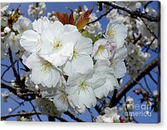 Acrylic Print featuring the photograph Vancouver 2017 Spring Time Cherry Blossoms - 5 by Terry Elniski