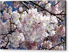 Acrylic Print featuring the photograph Vancouver 2017 Spring Time Cherry Blossoms - 6 by Terry Elniski