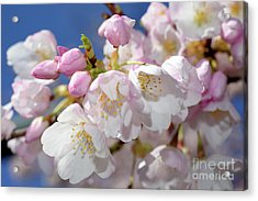 Acrylic Print featuring the photograph Vancouver 2017 Spring Time Cherry Blossoms - 7 by Terry Elniski