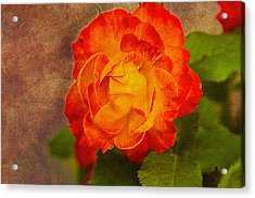 Variegated Beauty - Rose Floral Acrylic Print by Barry Jones