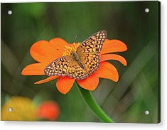 Variegated Fritillary On Flower Acrylic Print by Ronda Ryan