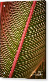 Variegated Ti-leaf 2 Acrylic Print by Ron Dahlquist - Printscapes