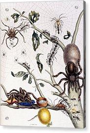 Various Arachnids From South America, 1726  Acrylic Print