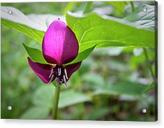Acrylic Print featuring the photograph Vasey's Trillium  by Ben Shields