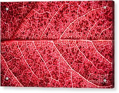 Veins In A Red Autumn Leaf Acrylic Print by Ryan Kelly