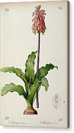 Veltheimia Capensis Acrylic Print by Pierre Joseph Redoute