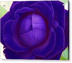 Velvet Blue Lettuce Rose Acrylic Print by Samantha Thome