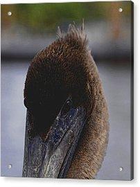 Velvet Brown Pelican Acrylic Print