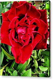 Velvet Red Rose Acrylic Print
