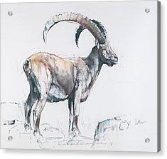 Venerando Stambecco Acrylic Print by Mark Adlington