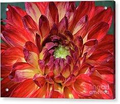 Variegated Dahlia Beauty Acrylic Print